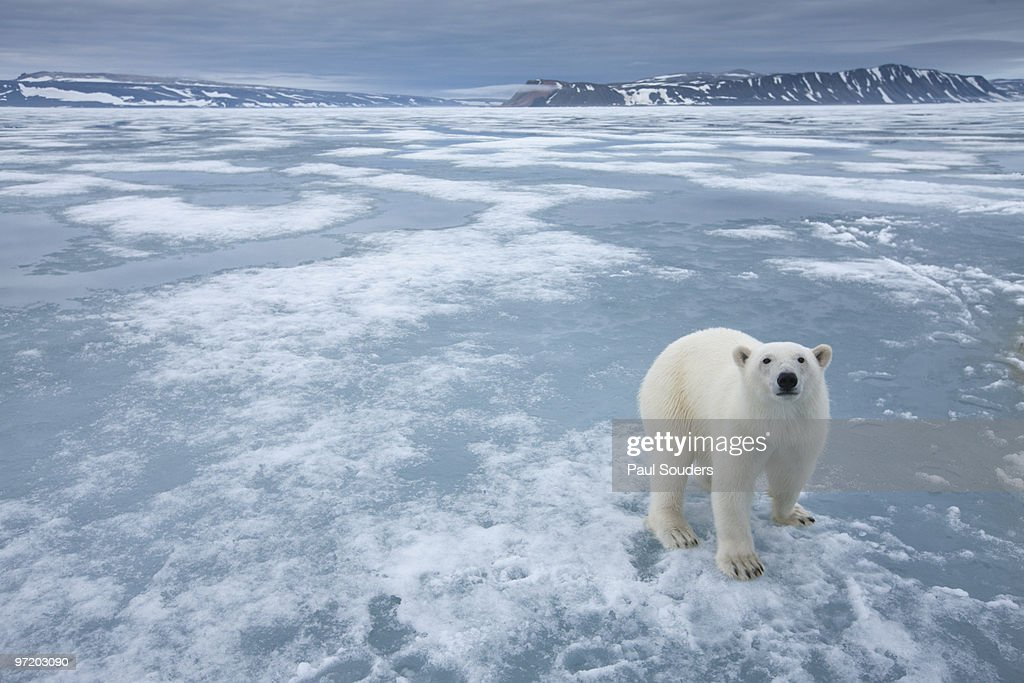 Polar Bear, Nordaustlandet, Svalbard, Norway