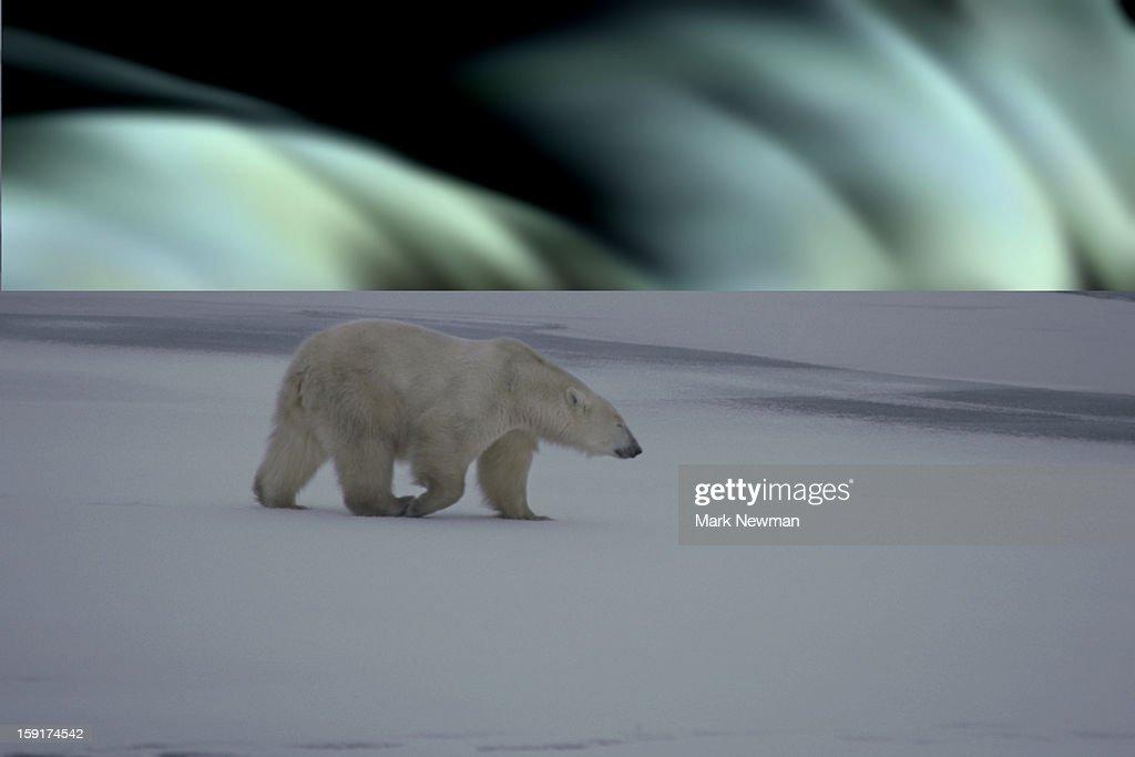 Polar Bear & Northern Lights : Stock Photo