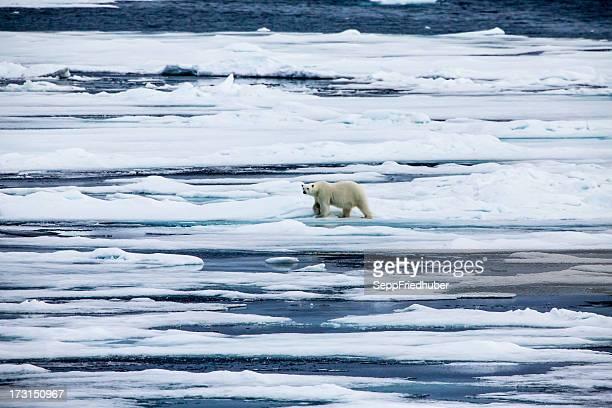 Polar bear  on an ice flow