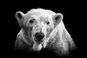Polar bear on black