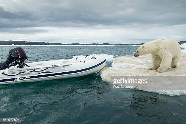Polar Bear on Hudson Bay Pack Ice, Nunavut, Canada