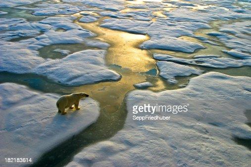 Oso Polar en hielo cerca del golden calle agua