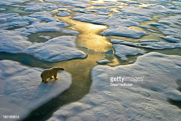 Ours Polaire sur glace à proximité de golden eaux étincelantes