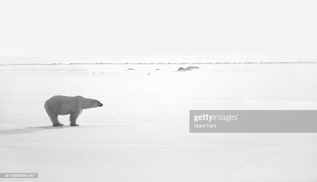 Polar bear on ice field, side view : Stock Photo