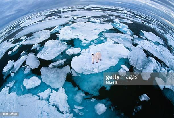 Polar bear on melting ice