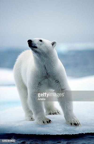 Polar bear on pack ice floating in the Arctic ocean on the North Pole
