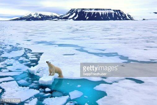 Oso Polar en banquisa