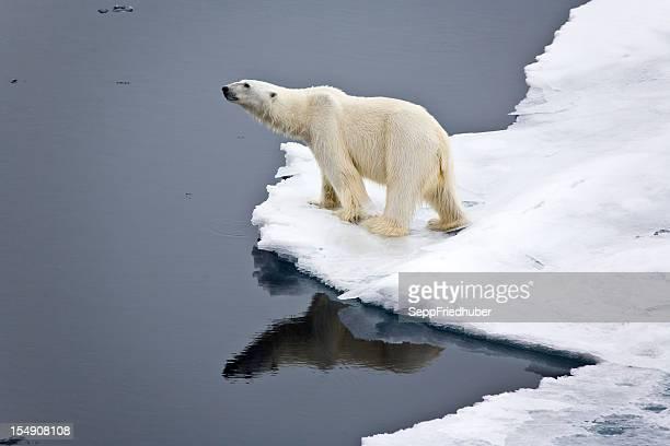 Polar bear auf Packeis