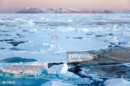 Polar bear on sea ice, Greenland : Stock Photo