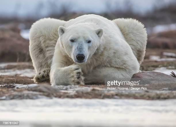 Polar bear on the coast of Hudson Bay waiting for the bay to freeze over, Manitoba, Canada
