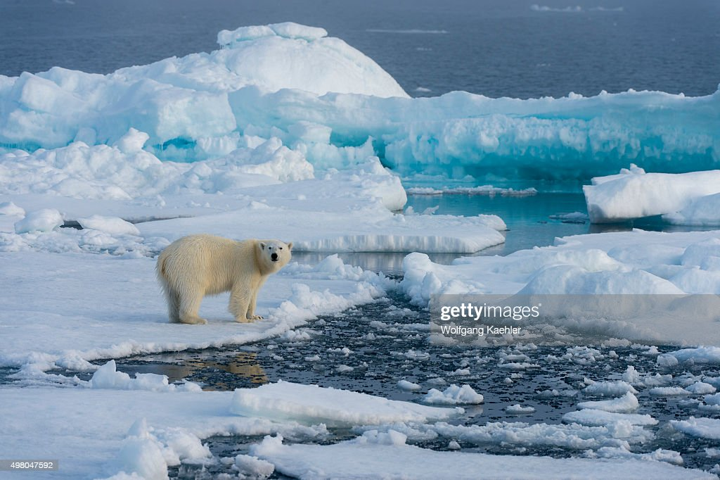 A polar bear (Ursus maritimus) on the pack ice north of Svalbard, Norway.