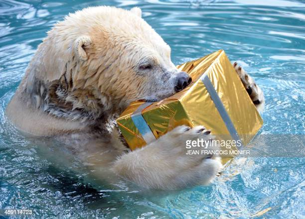 A polar bear opens a package filled with food and wrapped as a Christmas gift at the zoo in La Fleche western France on December 23 2013 AFP PHOTO /...