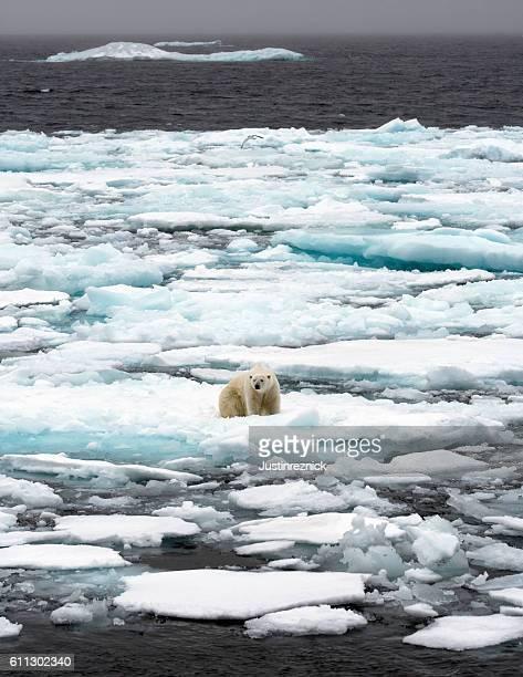 Polar Bear Pack Ice