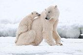 Polar bear with cub in Arctic Svalbard
