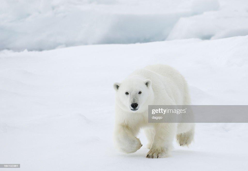 'Polar bear in Svalbard, Arctic.'