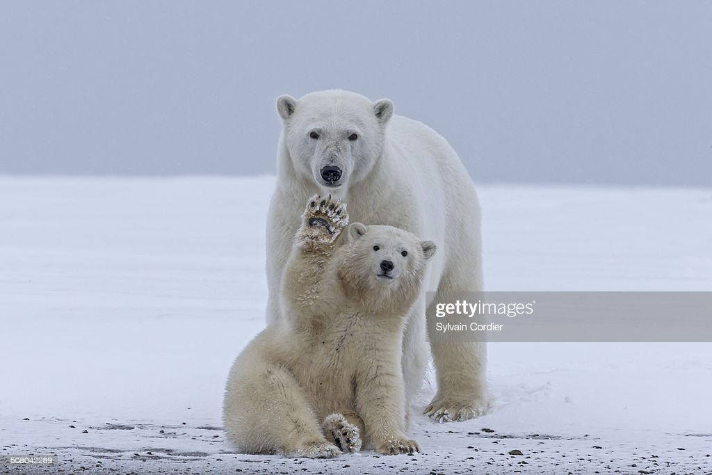 United States , Alaska , Arctic National Wildlife Refuge , Kaktovik , Polar Bear(Ursus maritimus) , mother with one cub from the year along a barrier island outside Kaktovik, Alaska. Every fall, polar bears (Ursus maritimus) gather near Kaktovik on the northern edge of ANWR, Arctic Alaska, Fall