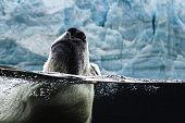 Underwater split shot of polar bear swimming in open water with iceberg in background