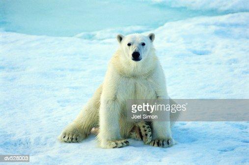 Polar Bear (Thalarctos maritimus) : Stock Photo