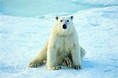 Polar Bear (Thalarctos maritimus)