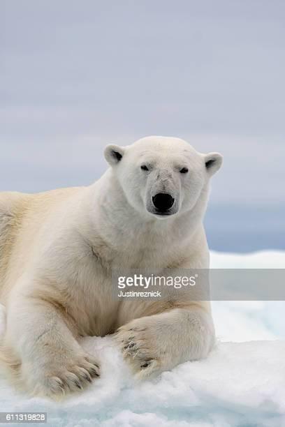 Polar Bear Porträt