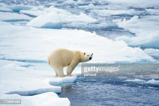 Oso polar preparar para nadar
