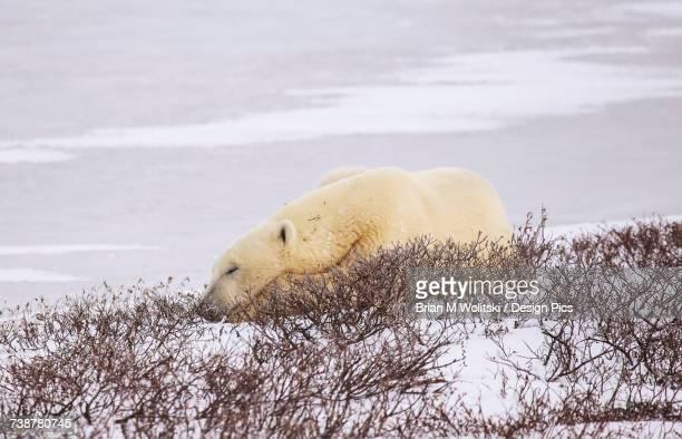 Polar bear (ursus maritimus) resting, Wapusk National Park