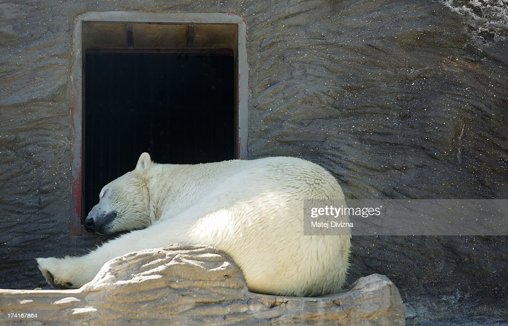 A polar bear rests in the shade during a sunny day at Prague Zoo on July 21, 2013 in Prague, Czech Republic. This week was one of the driest weeks since 1951, according to Czech meteorologists.