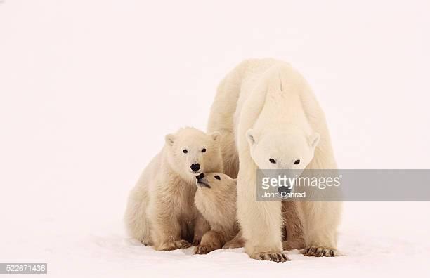 Polar Bear Sibling Affection
