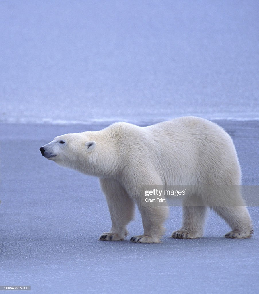 Polar bear (Ursus maritimus), side view : Stock Photo