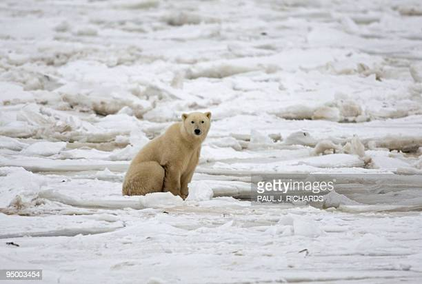 A polar bear sits on the Hudson Bay fresh ice next to a hole in the ice and close to the shore waiting for a seal meal for 15 November 2007 outside...