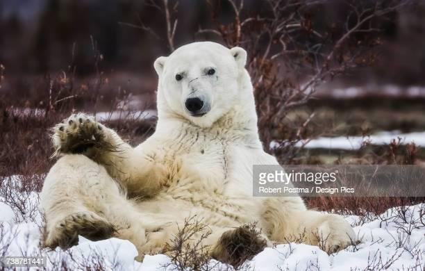 Polar bear (ursus maritimus) sitting in the snow