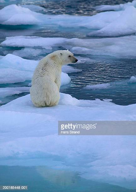 Polar bear (Ursus maritimus) sitting on ice, rear view