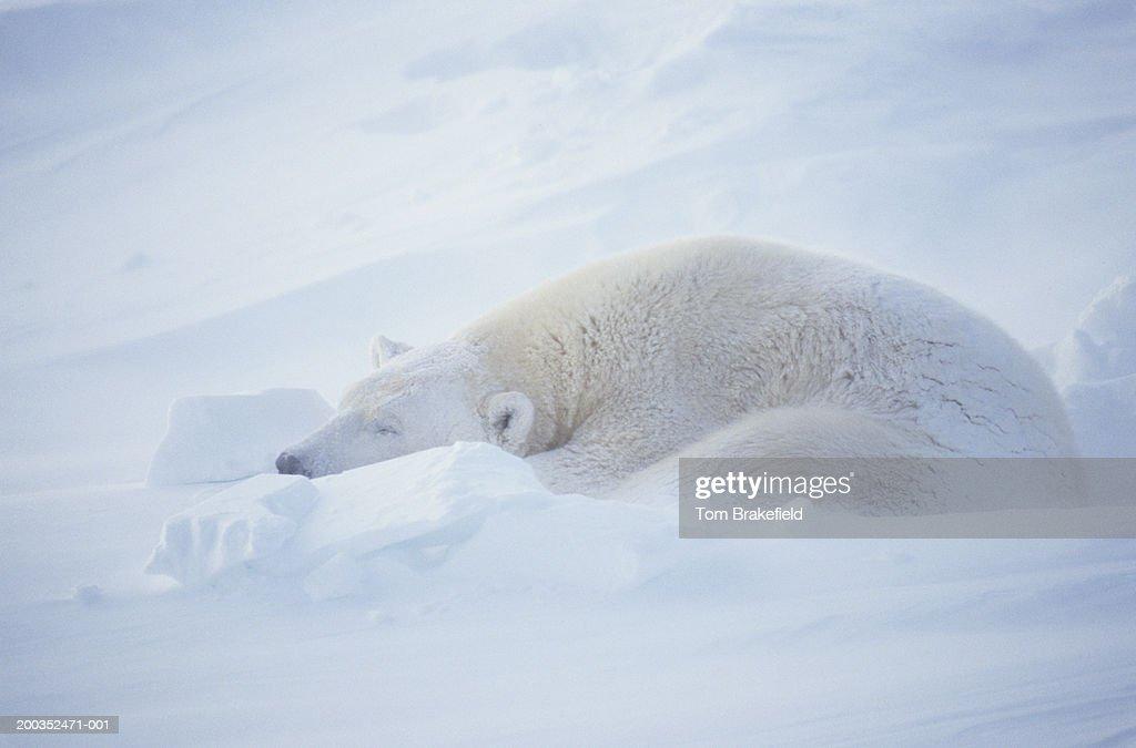 Polar bear (Ursus maritimus) sleeping, Canada : Stock Photo