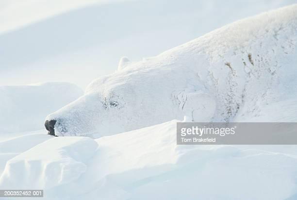 Polar bear (Ursus maritimus) sleeping, headshot, Canada