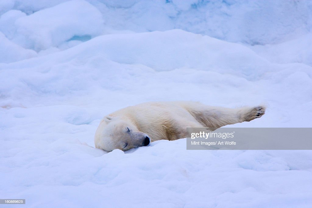 A polar bear sleeps on a bed of snow, Svalbard, Norway, Ursus maritimus, : Stock Photo