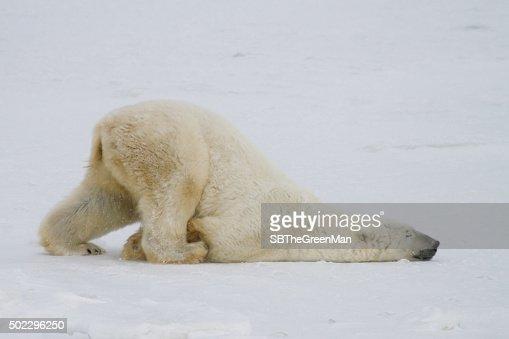 북극곰 미끄러지다 : 스톡 사진