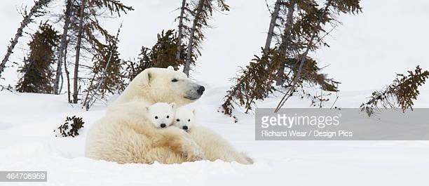Polar Bear (Ursus Maritimus) Sow And Two Cubs Rest On Their Mother's Back Outside Their Den At Wapusk National Park