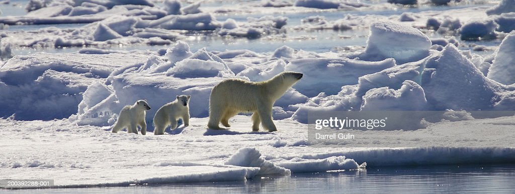 Polar bear sow and two young cubs (Ursus maritimus) : Stock Photo