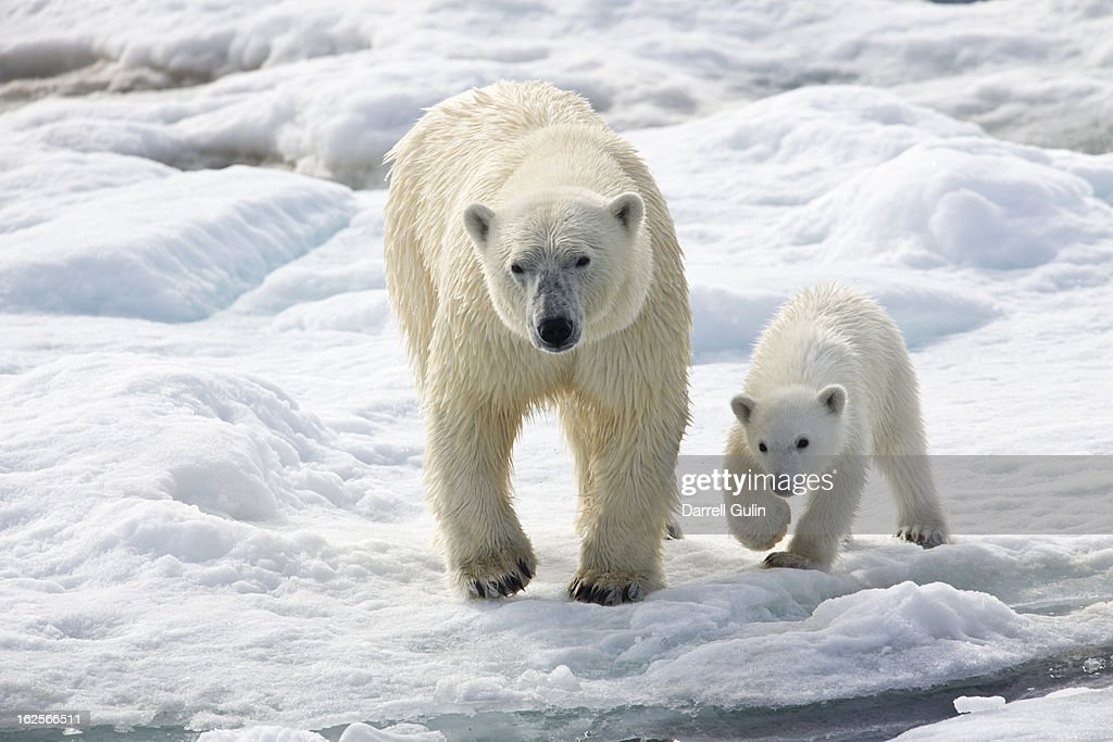 Polar Bear Sow with Young Cub High Arctic Norway