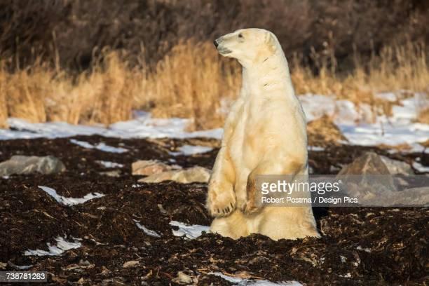 Polar bear (ursus maritimus) standing up, near Churchill