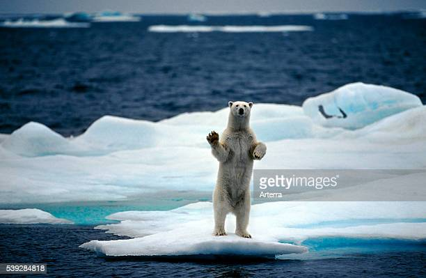 Polar bear standing upright on pack ice in the Arctic ocean on the North Pole