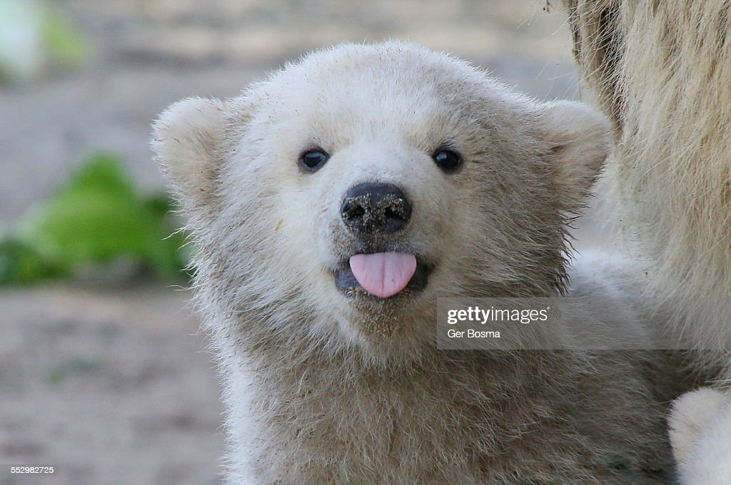 Polar bear sticking out his tongue