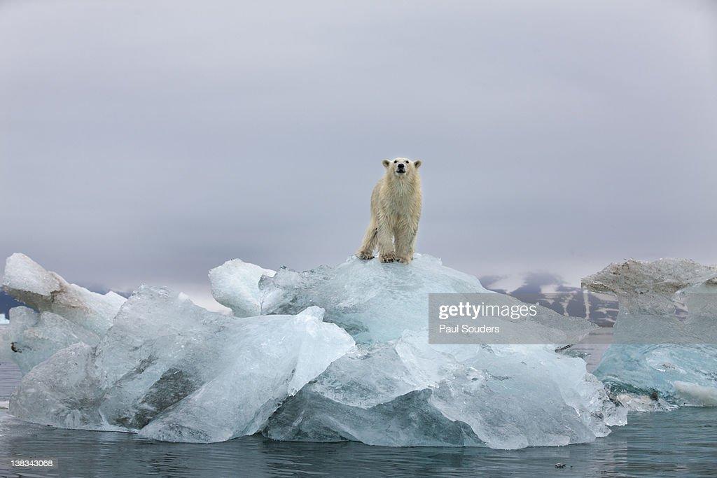 Norway, Svalbard, Spitsbergen Island, Polar Bear (Ursus maritimus) standing on top of melting glacial iceberg in Woodfjorden