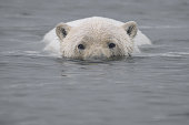 Polar Bear Swimming in Arctic Ocean with Head Above Water