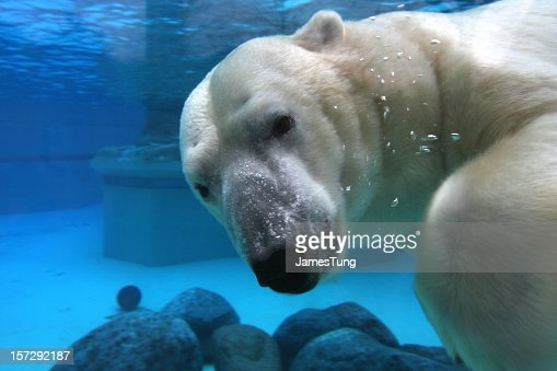 Polar bear swimming in tank, looking at camera