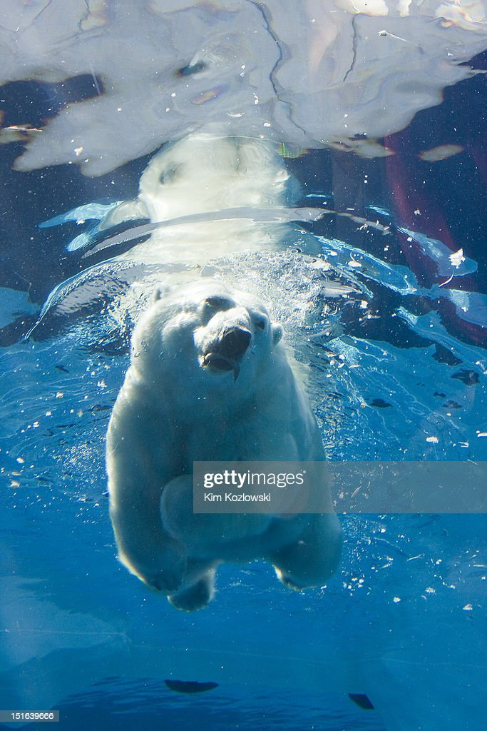 Polar bear swimming : Stock Photo