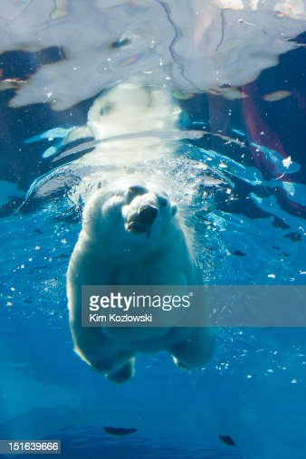 Polar bear swimming : Bildbanksbilder