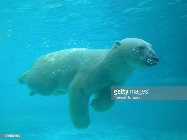 Polar bear swimming under water