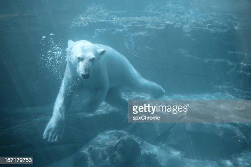 Oso Polar bajo el agua: nadar