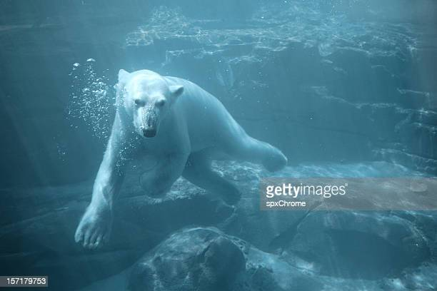 Polar Bear - Swimming Underwater
